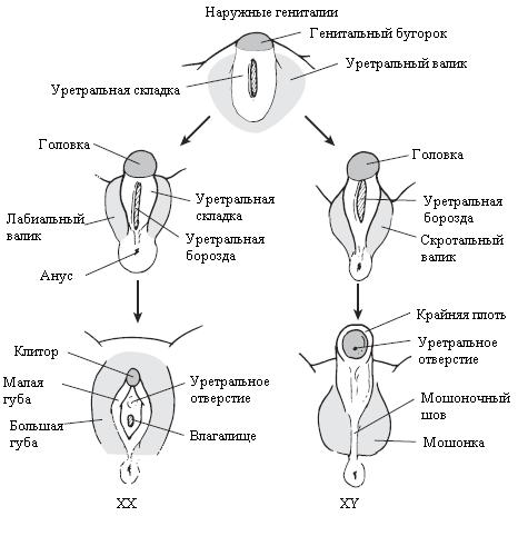 Как формируется клитор у женщин